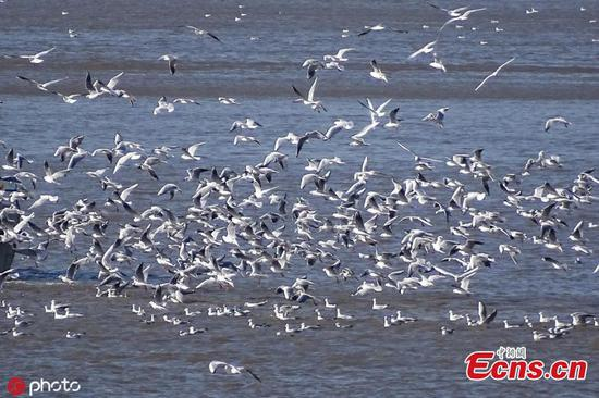 Migratory birds refuel on Songhua River