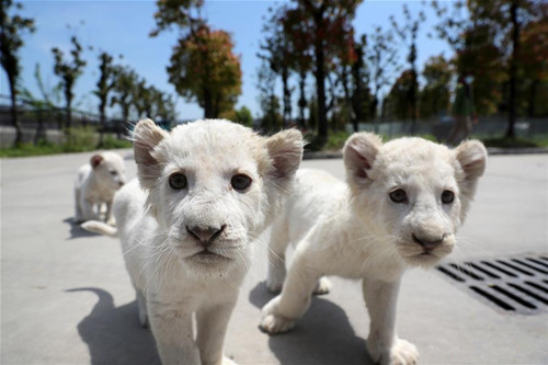 Triplets of white lion cubs make debut at Nantong Forest Safari Park