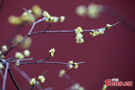 Wintersweet flowers bloom in Nanjing scenic spot