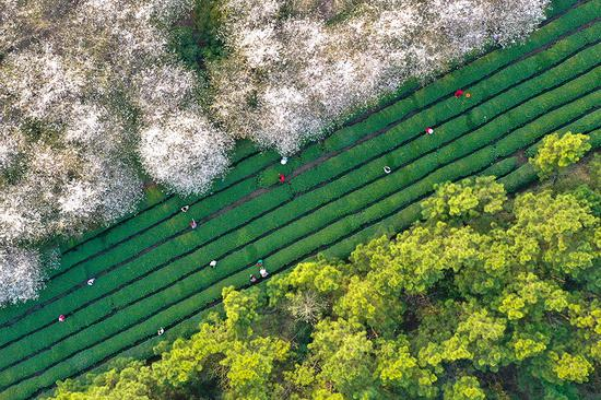 Spring scenery at cherry blossom garden in Anhui