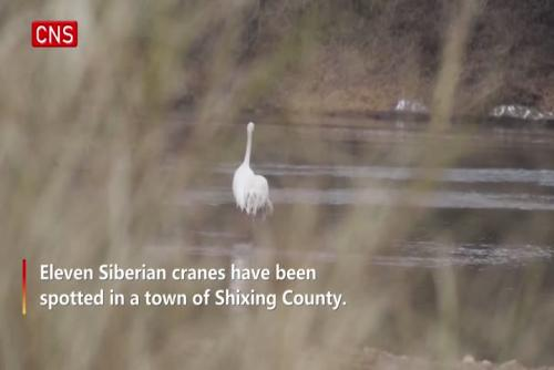 Critically endangered Siberian crane appears in South China